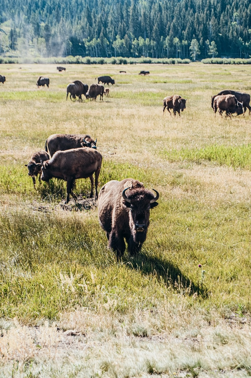 Bison herd on the roadside during a wildlife safari in Jackson Hole WY