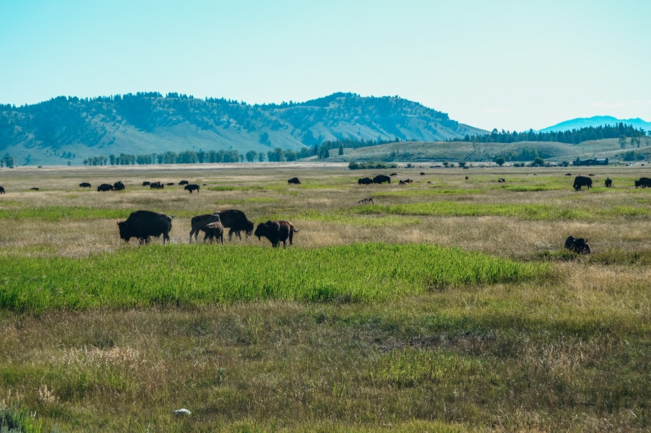 A herd of bison on our Jackson Hole wildlife safari